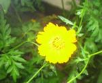 kosumosu001.jpg
